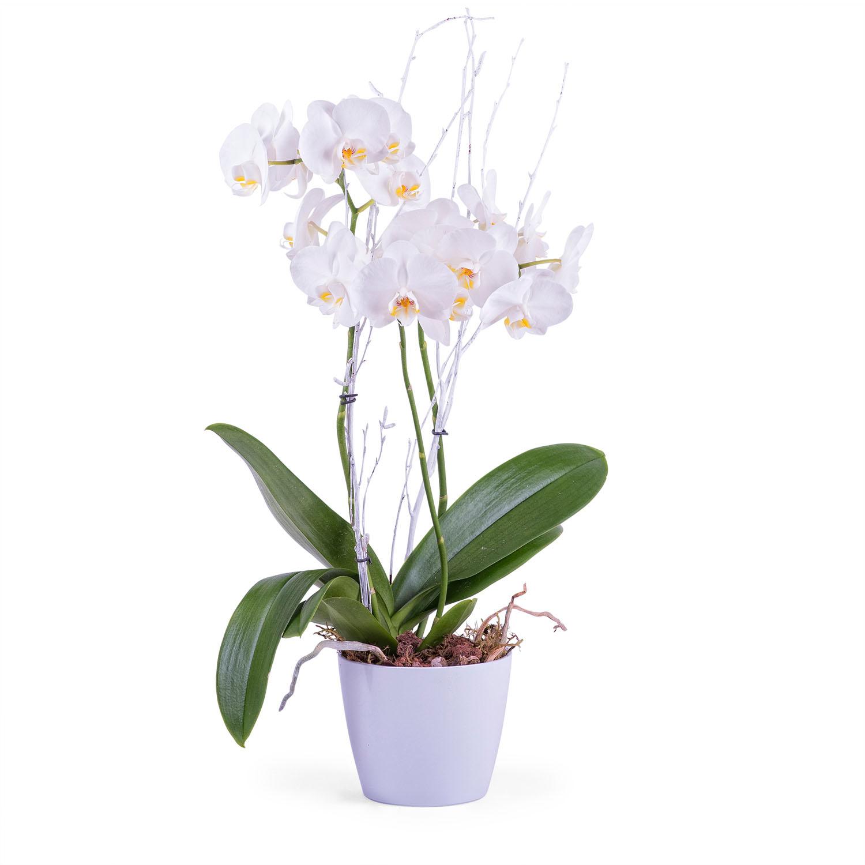 Phalaenopsis Premium Plant